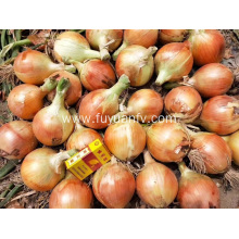 exporting red onion to Indonesia